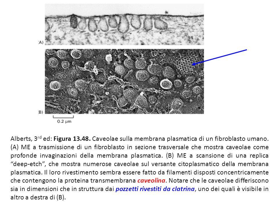 Alberts, 3rd ed: Figura 13.48. Caveolae sulla membrana plasmatica di un fibroblasto umano.
