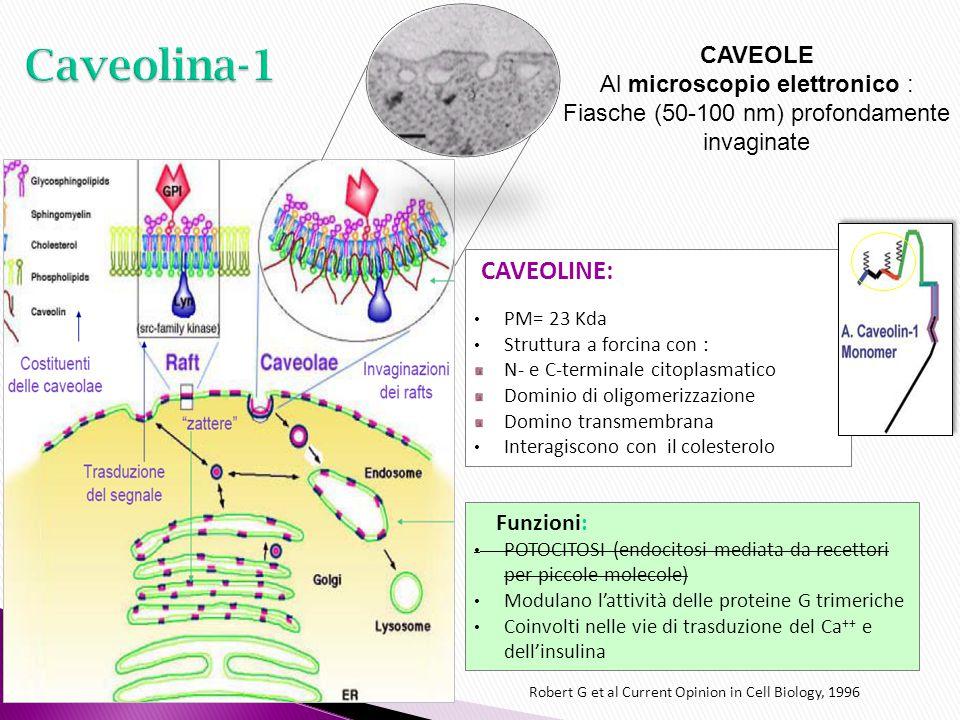 Caveolina-1 CAVEOLE Al microscopio elettronico :
