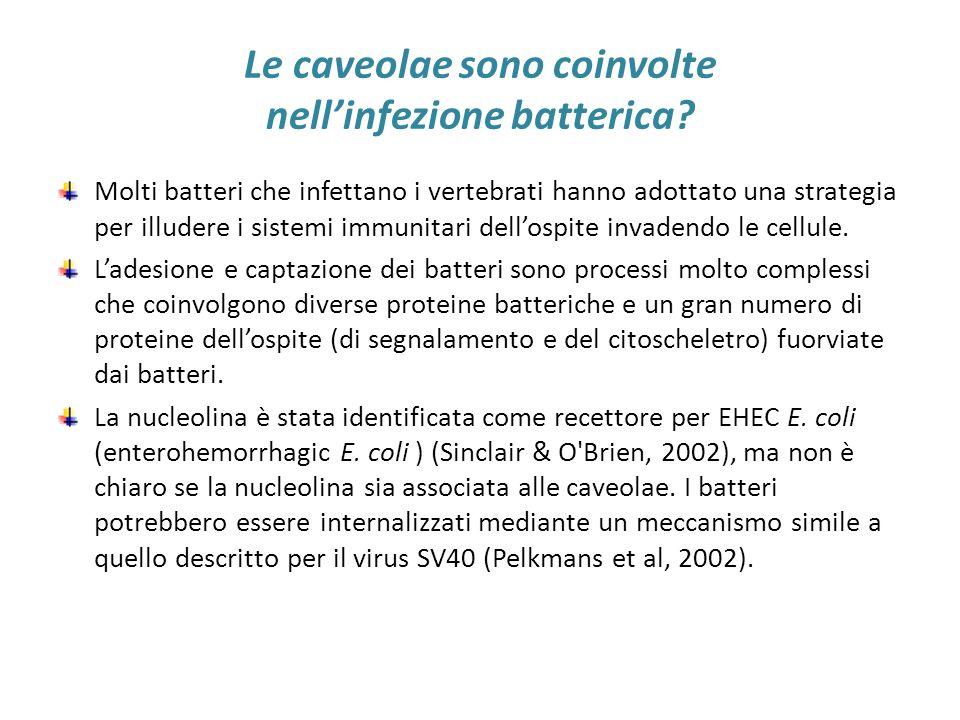 Le caveolae sono coinvolte nell'infezione batterica