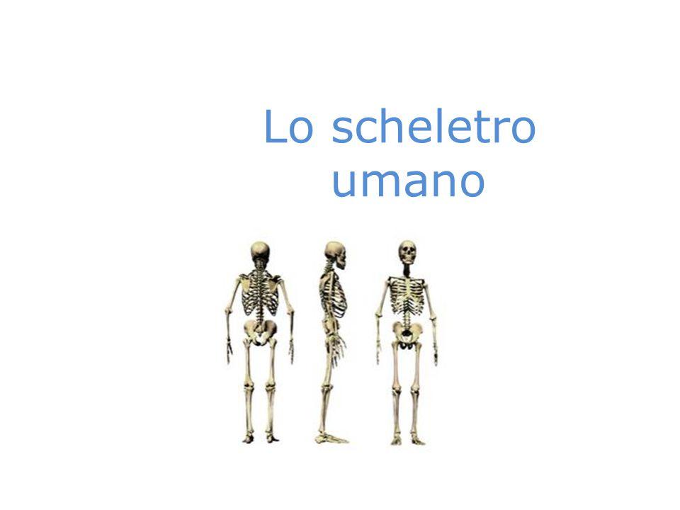 Lo scheletro umano