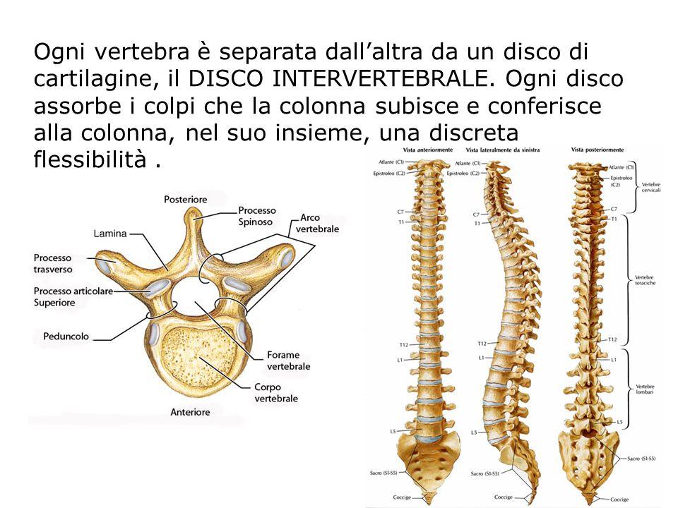 Ogni vertebra è separata dall'altra da un disco di cartilagine, il DISCO INTERVERTEBRALE.