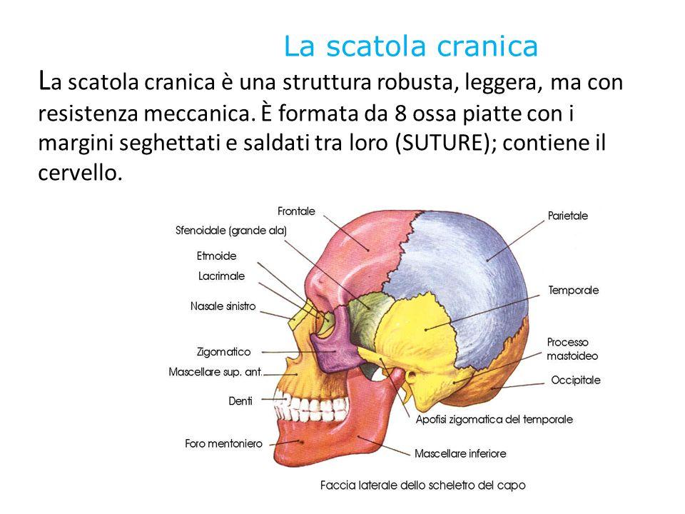 La scatola cranica