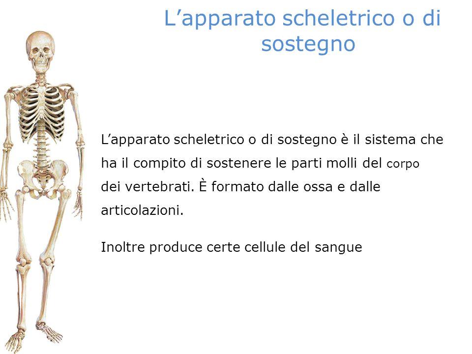 L'apparato scheletrico o di sostegno