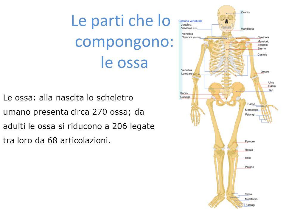 Le parti che lo compongono:le ossa