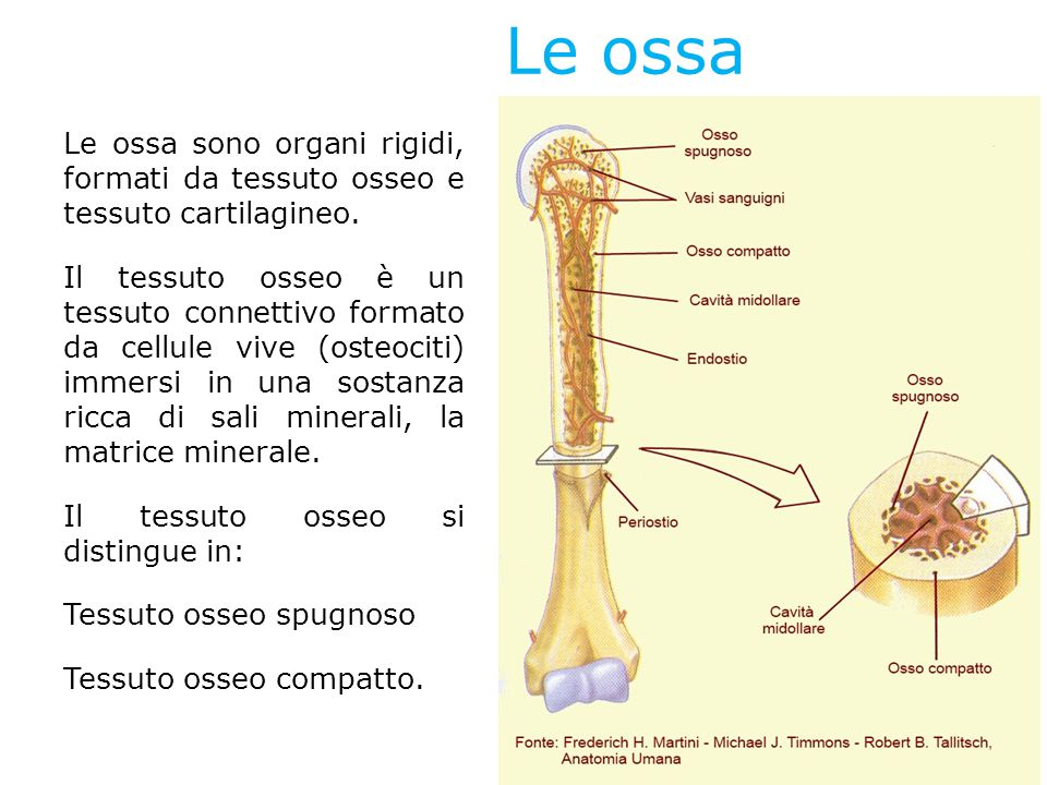 Le ossa Le ossa sono organi rigidi, formati da tessuto osseo e tessuto cartilagineo.
