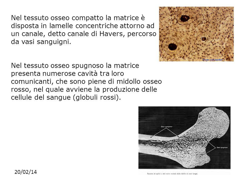 Nel tessuto osseo compatto la matrice è disposta in lamelle concentriche attorno ad un canale, detto canale di Havers, percorso da vasi sanguigni.