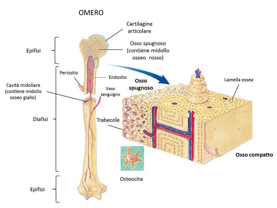 Ben noto Lo scheletro umano. - ppt video online scaricare XJ73