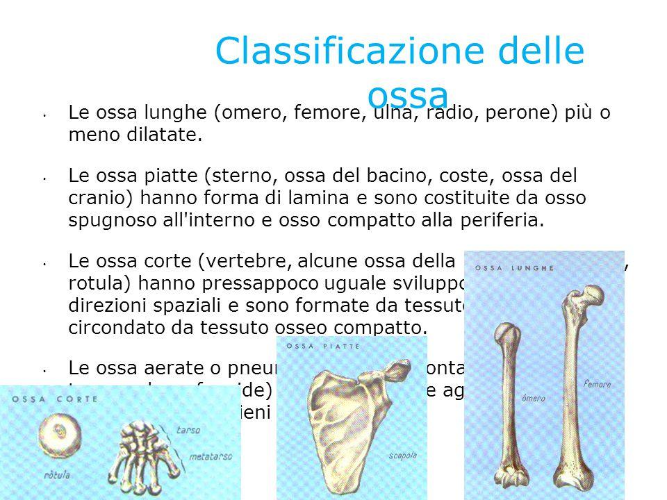 Classificazione delle ossa