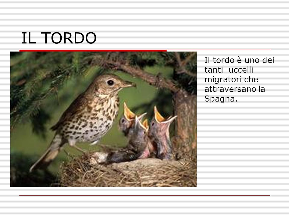 IL TORDO Il tordo è uno dei tanti uccelli migratori che attraversano la Spagna.