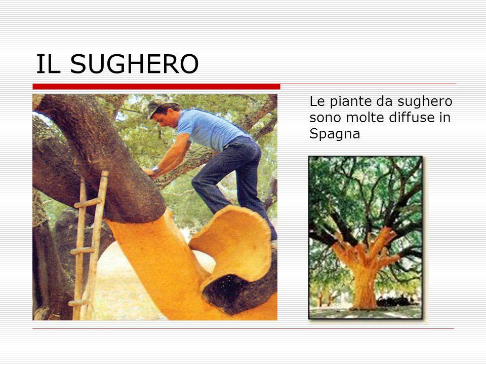 IL SUGHERO Le piante da sughero sono molte diffuse in Spagna