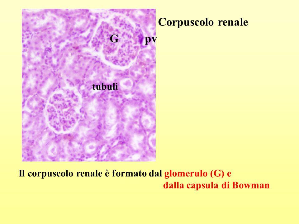Corpuscolo renale G pv tubuli