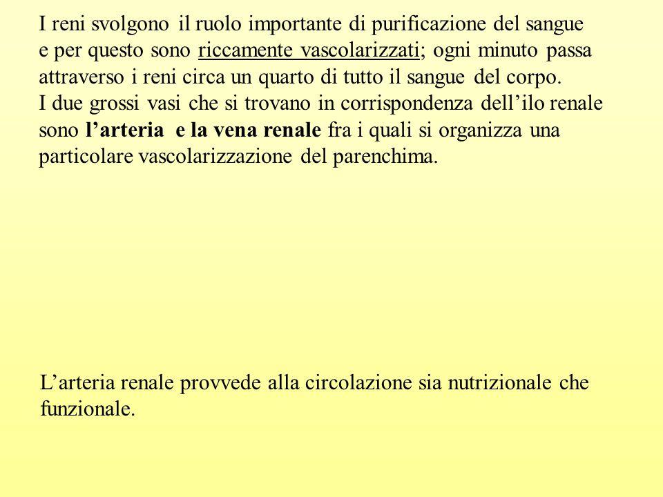 I reni svolgono il ruolo importante di purificazione del sangue