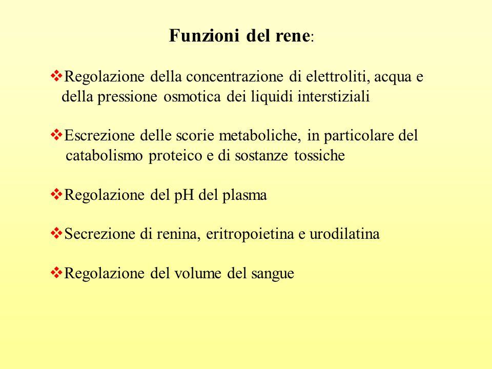 Funzioni del rene: Regolazione della concentrazione di elettroliti, acqua e. della pressione osmotica dei liquidi interstiziali.