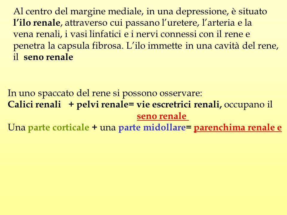 Al centro del margine mediale, in una depressione, è situato