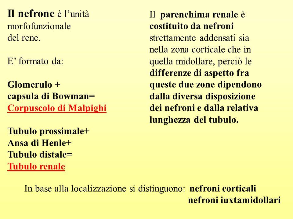 Il nefrone è l'unità morfofunzionale. del rene. E' formato da: Glomerulo + capsula di Bowman= Corpuscolo di Malpighi.