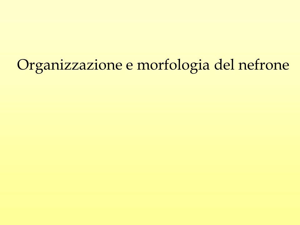 Organizzazione e morfologia del nefrone