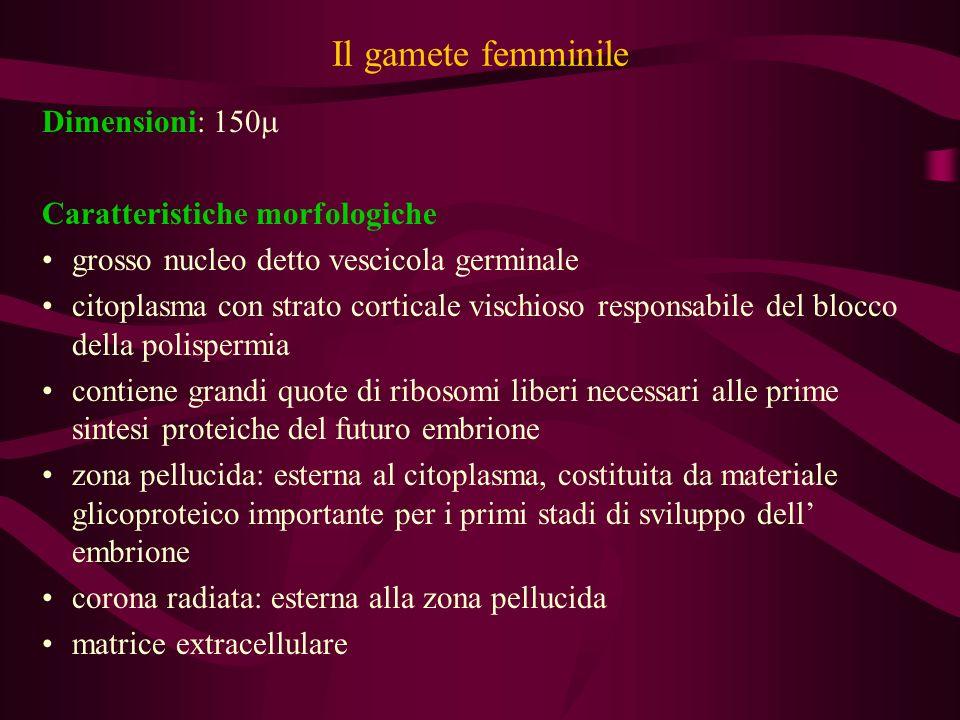 Il gamete femminile Dimensioni: 150 Caratteristiche morfologiche