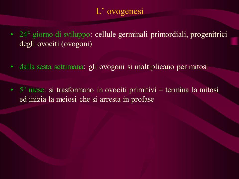 L' ovogenesi 24° giorno di sviluppo: cellule germinali primordiali, progenitrici degli ovociti (ovogoni)