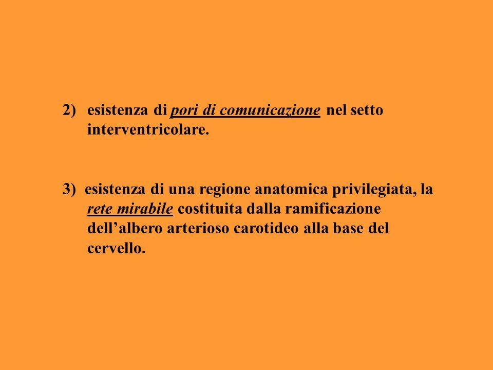 esistenza di pori di comunicazione nel setto interventricolare.
