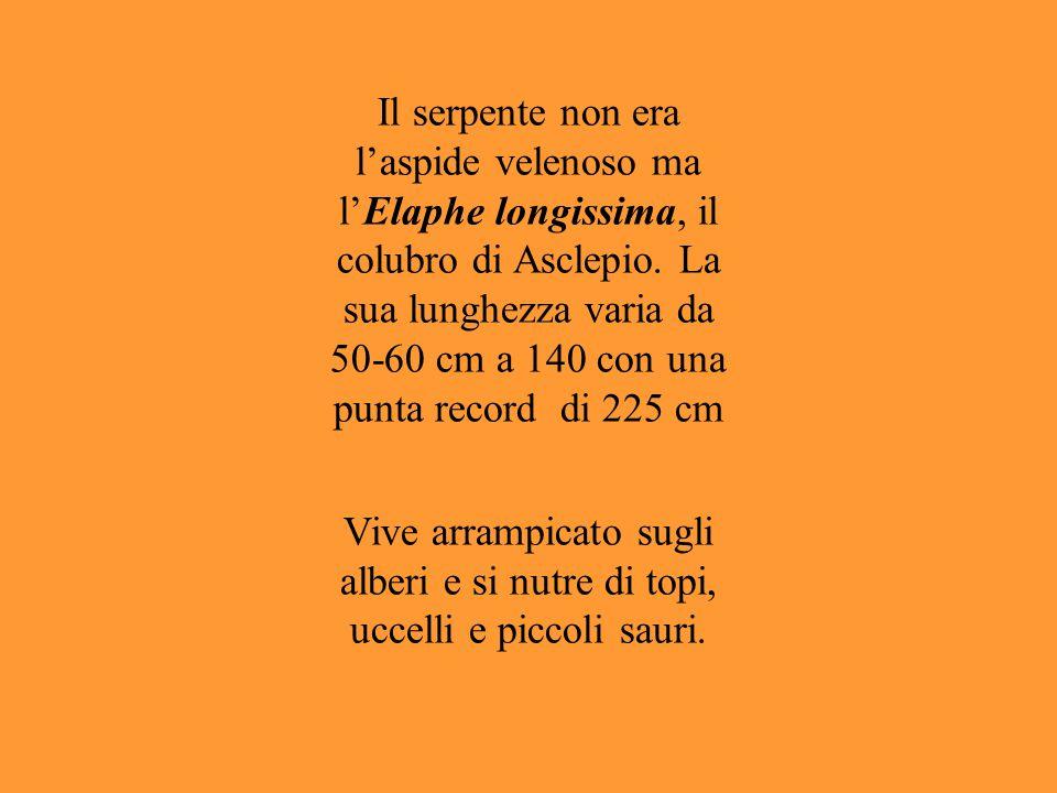 Il serpente non era l'aspide velenoso ma l'Elaphe longissima, il colubro di Asclepio. La sua lunghezza varia da 50-60 cm a 140 con una punta record di 225 cm