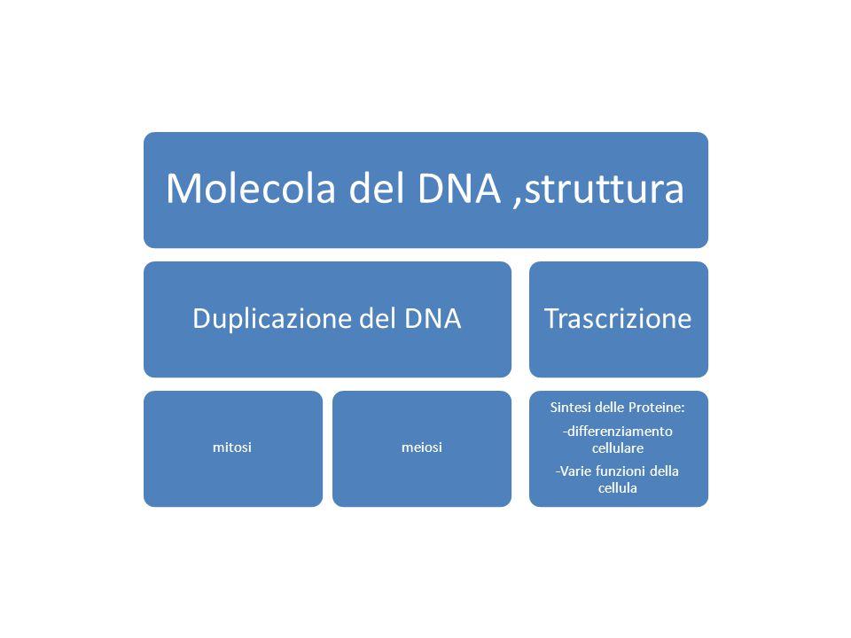 Molecola del DNA ,struttura