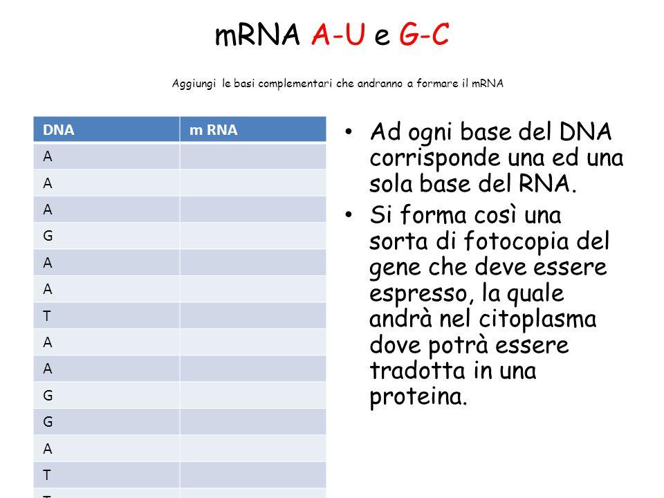 mRNA A-U e G-C Aggiungi le basi complementari che andranno a formare il mRNA