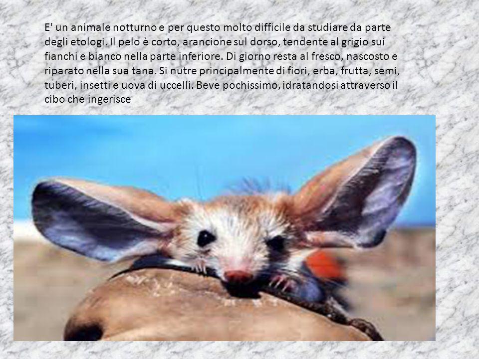 E un animale notturno e per questo molto difficile da studiare da parte degli etologi.