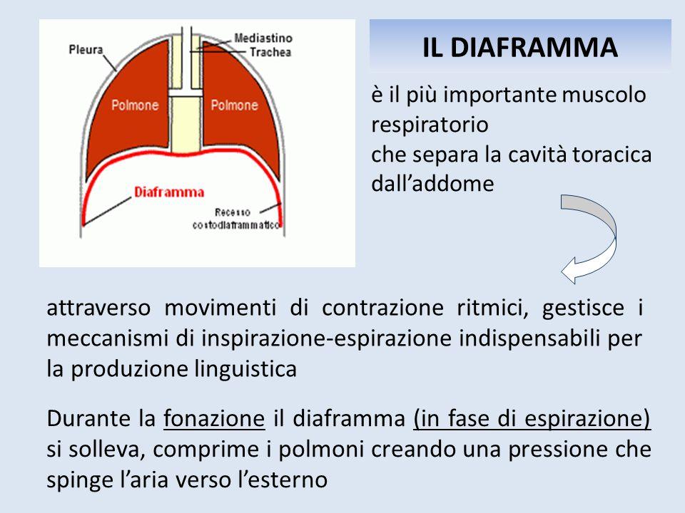 IL DIAFRAMMA è il più importante muscolo respiratorio. che separa la cavità toracica dall'addome.