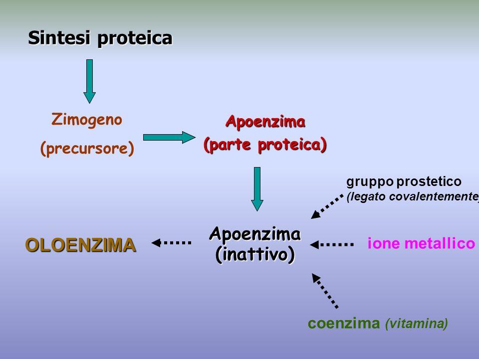 Sintesi proteica OLOENZIMA Apoenzima (inattivo) Zimogeno Apoenzima
