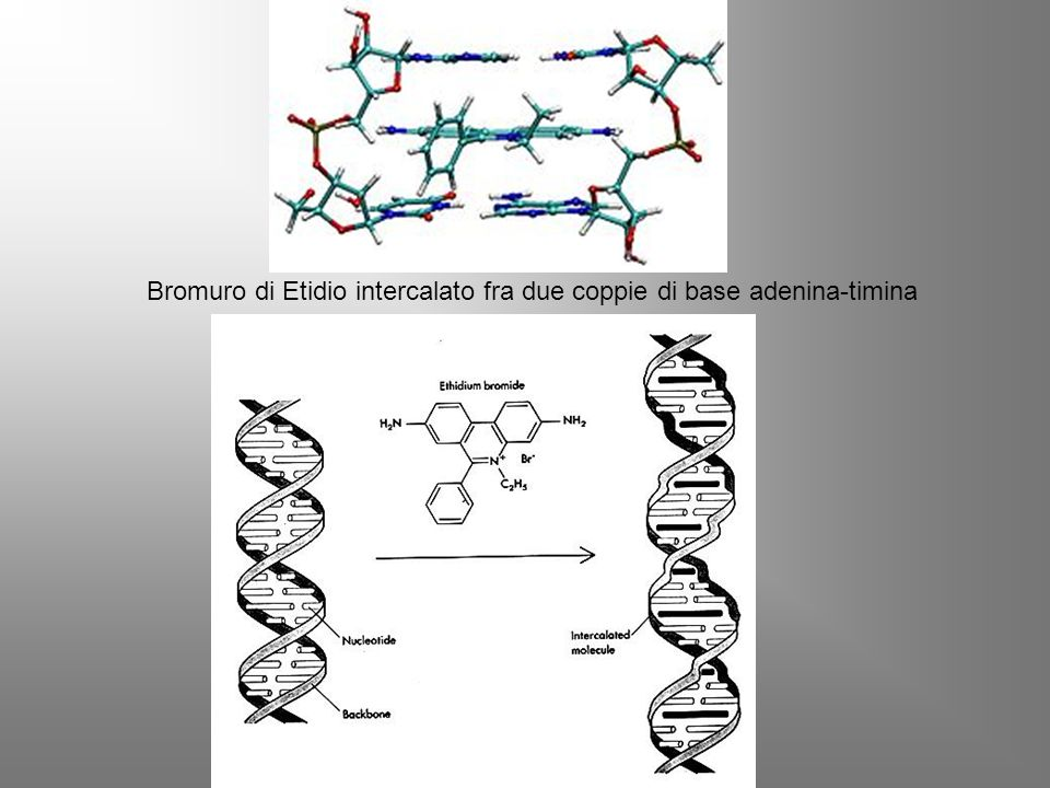 Bromuro di Etidio intercalato fra due coppie di base adenina-timina