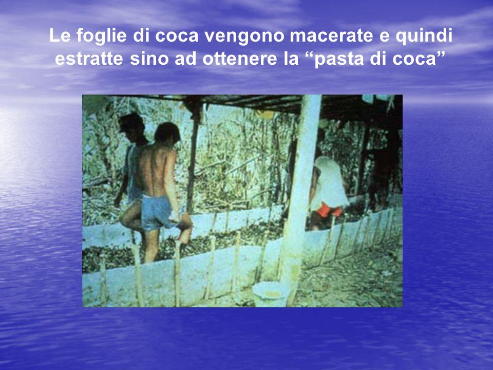 Le foglie di coca vengono macerate e quindi estratte sino ad ottenere la pasta di coca