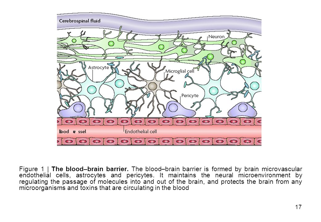 Figure 1 | The blood–brain barrier