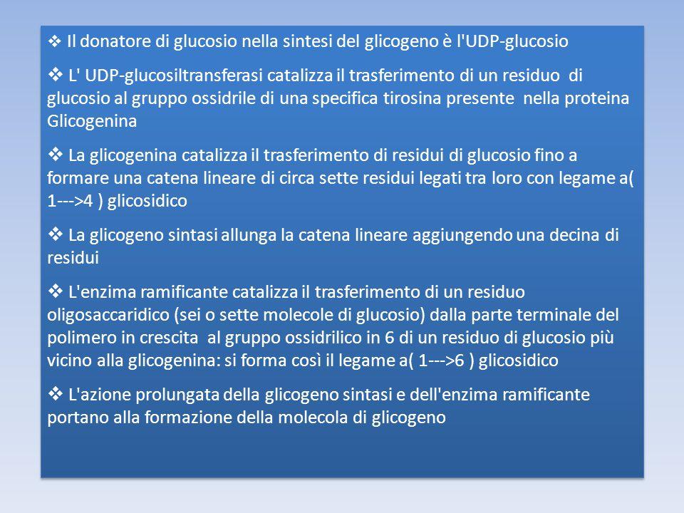 Il donatore di glucosio nella sintesi del glicogeno è l UDP-glucosio