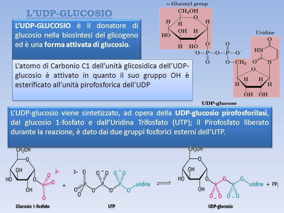 L'UDP-GLUCOSIO L'UDP-GLUCOSIO è il donatore di glucosio nella biosintesi del glicogeno ed è una forma attivata di glucosio.