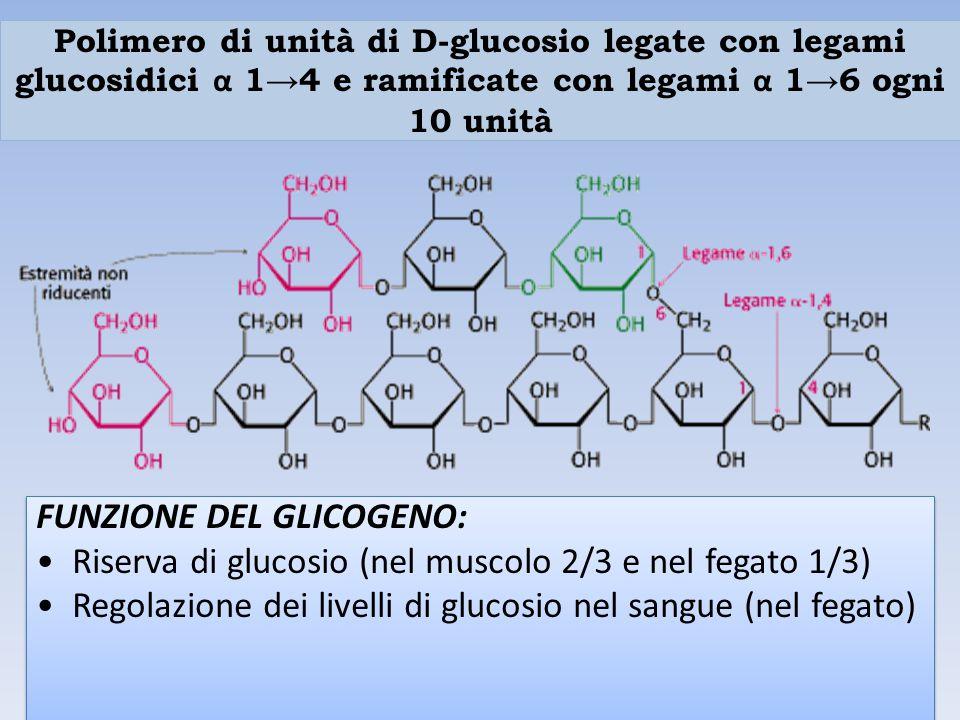 FUNZIONE DEL GLICOGENO: