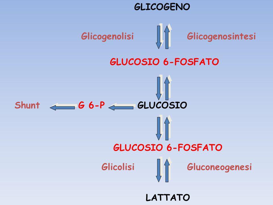 GLICOGENO GLUCOSIO. LATTATO. Glicogenolisi. Glicogenosintesi. Glicolisi. Gluconeogenesi. Shunt.