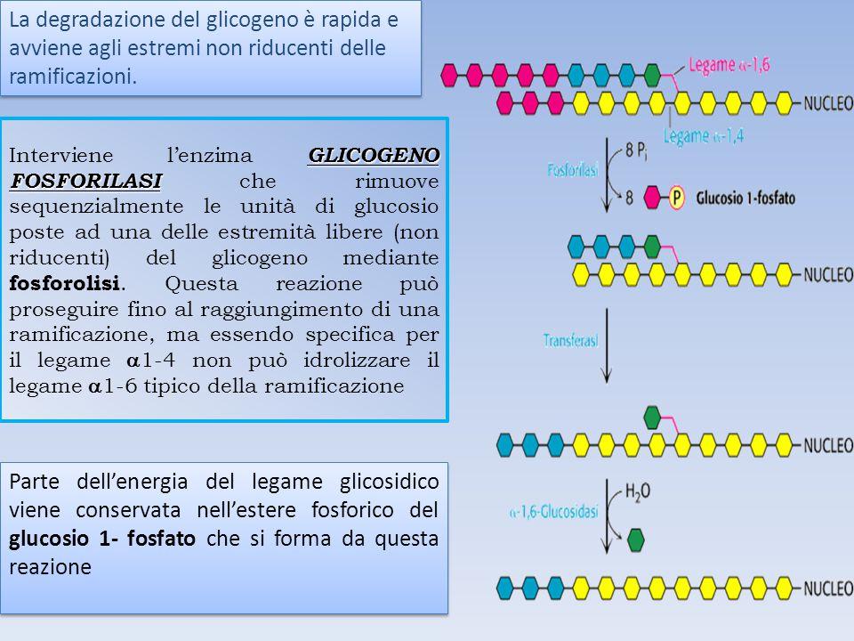 La degradazione del glicogeno è rapida e avviene agli estremi non riducenti delle ramificazioni.