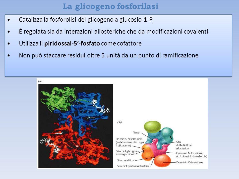 La glicogeno fosforilasi