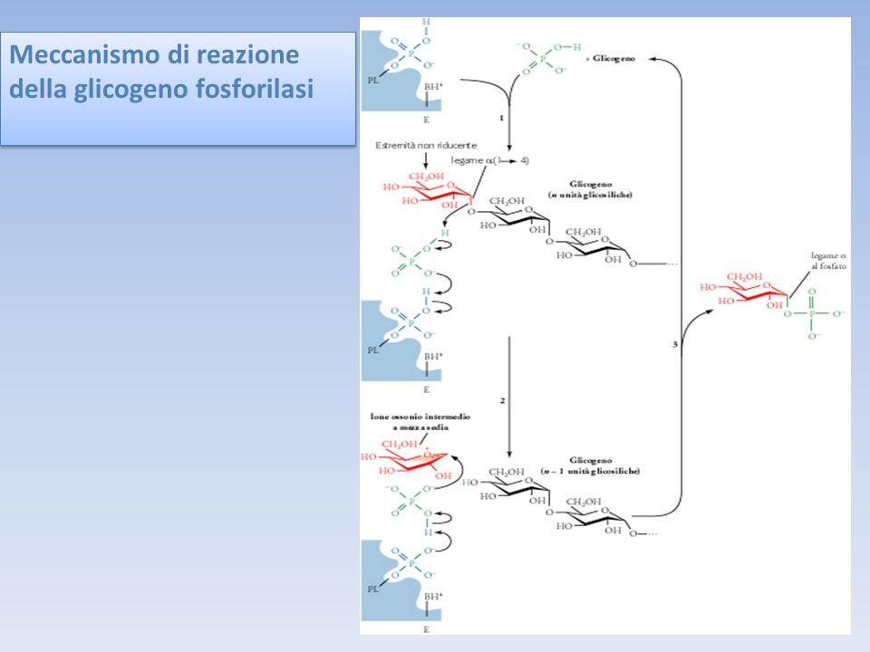Meccanismo di reazione della glicogeno fosforilasi