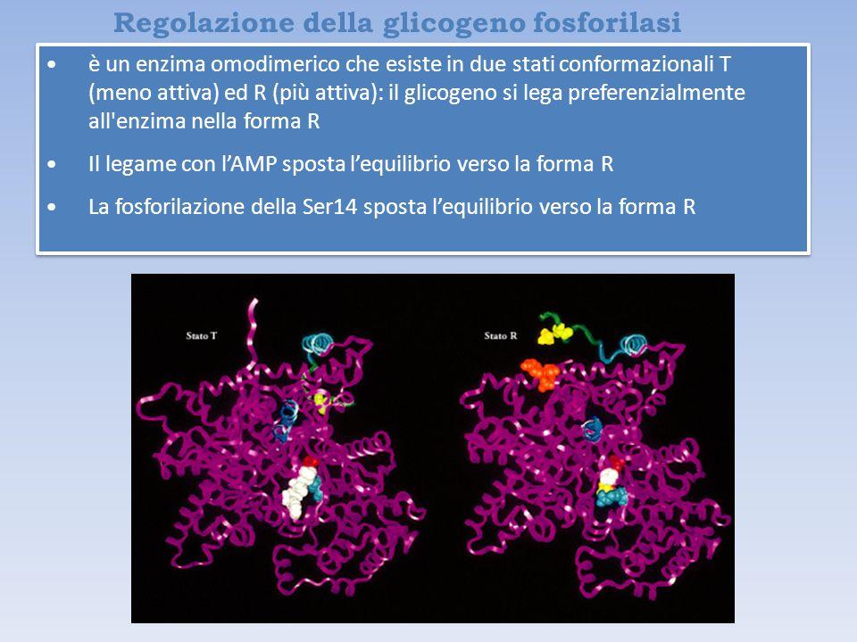 Regolazione della glicogeno fosforilasi