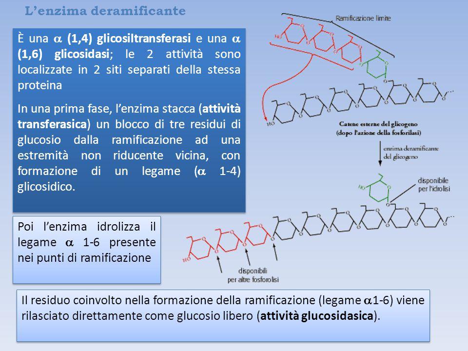 L'enzima deramificante