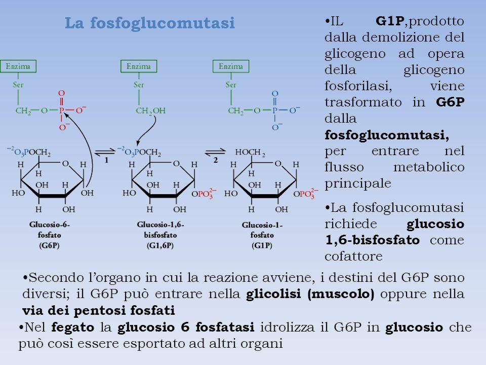 La fosfoglucomutasi
