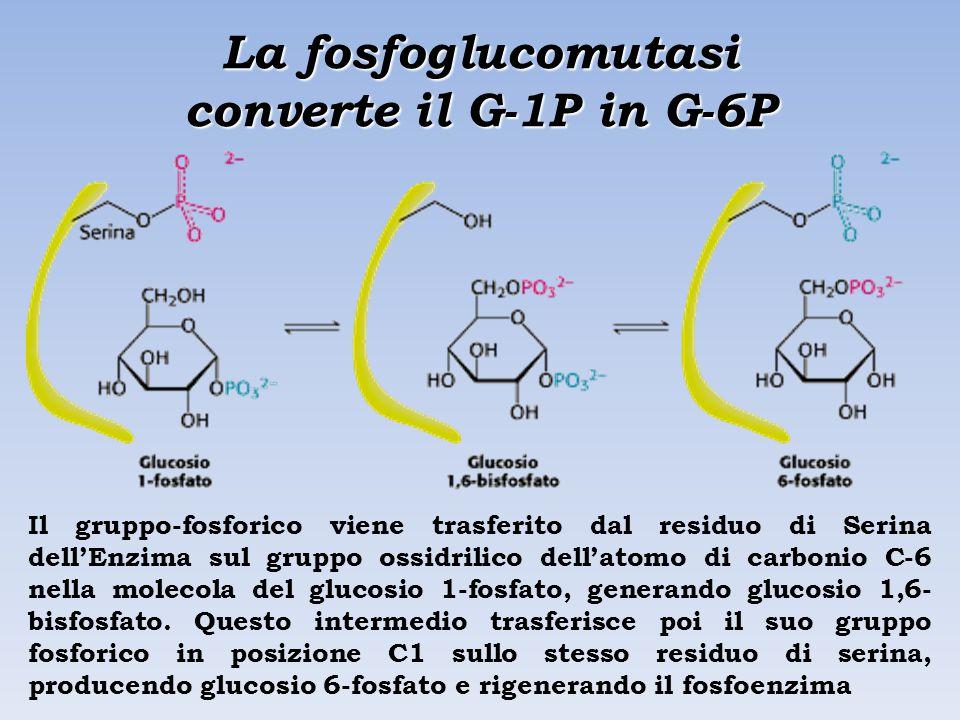 La fosfoglucomutasi converte il G-1P in G-6P