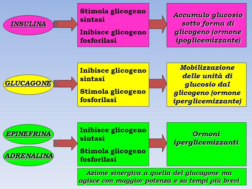 Stimola glicogeno sintasi Inibisce glicogeno fosforilasi