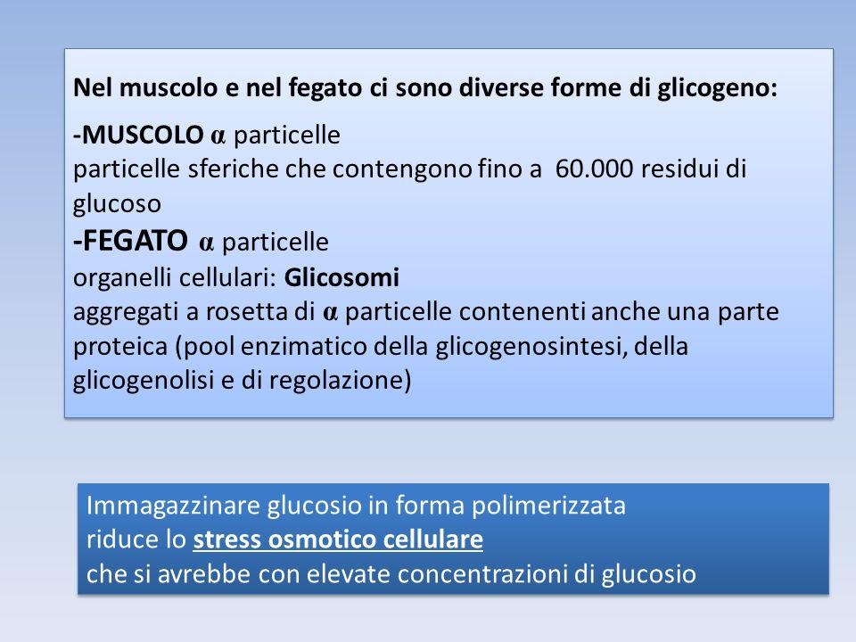 Nel muscolo e nel fegato ci sono diverse forme di glicogeno: