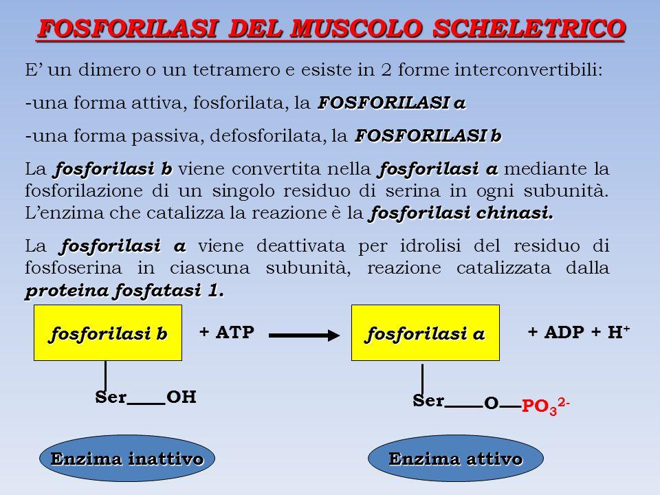 FOSFORILASI DEL MUSCOLO SCHELETRICO