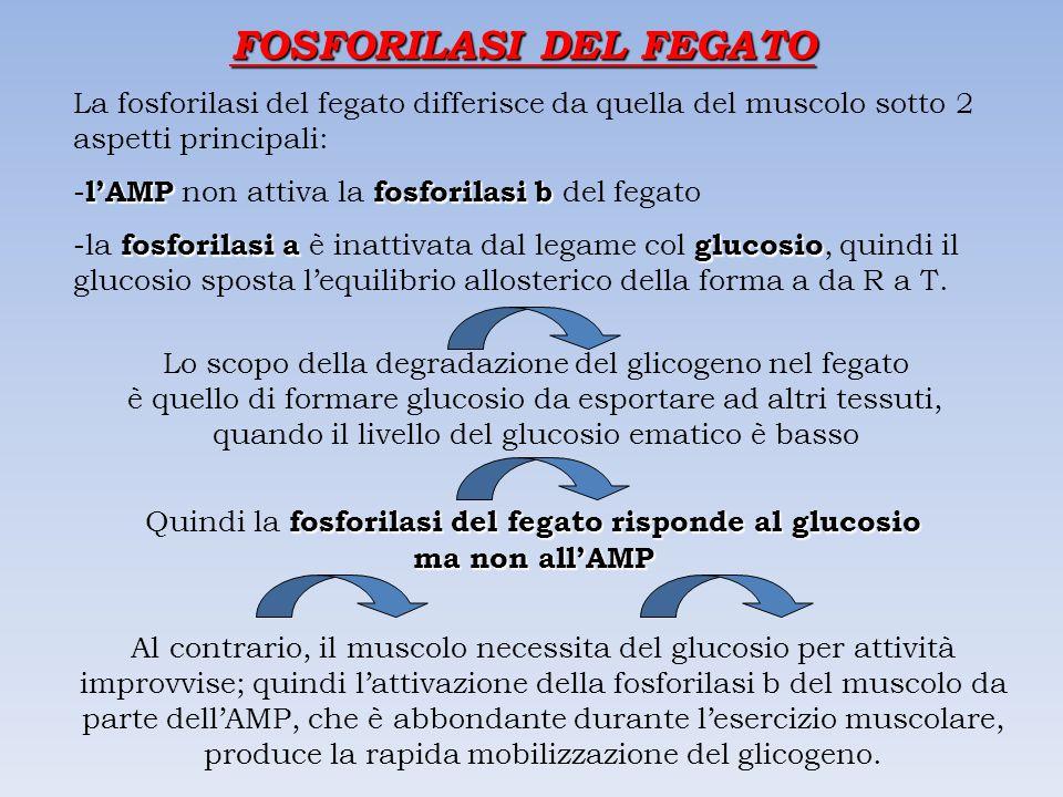 FOSFORILASI DEL FEGATO