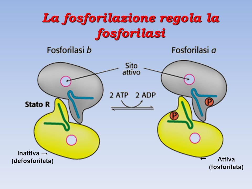 La fosforilazione regola la fosforilasi