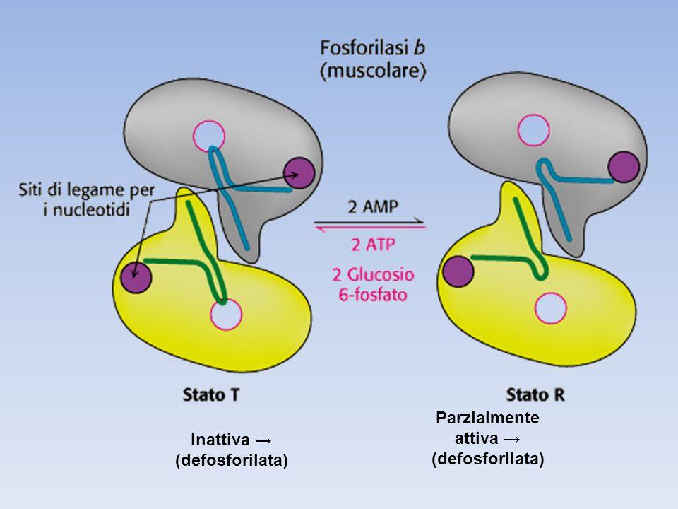 Parzialmente attiva → (defosforilata) Inattiva → (defosforilata)