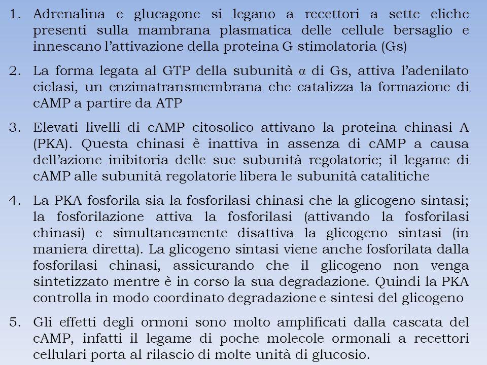 Adrenalina e glucagone si legano a recettori a sette eliche presenti sulla mambrana plasmatica delle cellule bersaglio e innescano l'attivazione della proteina G stimolatoria (Gs)